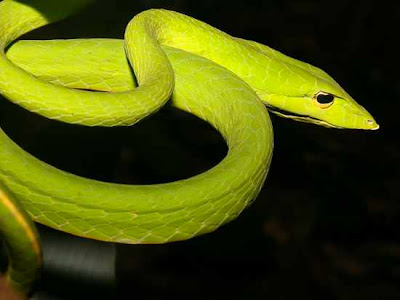 Long nosed vine snake