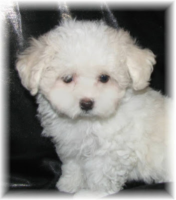 Pomeranian Puppies For Sale Pomeranian Puppies For Sale Near