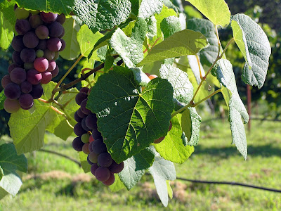 Oklahoma Wine Grapes