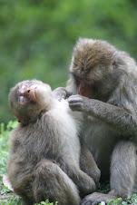 Monkey Reserve, Oita
