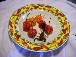 Trinidad Scorpion-www.superhotchiles.com|Bhut Jolokia