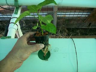 bhut jolokia seeds-www.superhotchiles.com