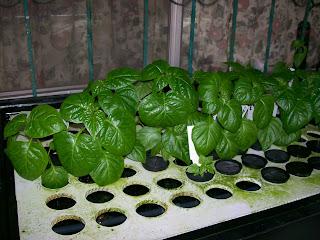 Trinidad Scorpion, bhut jolokia
