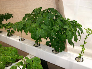 www.superhotchiles.com Bhut Jolokia