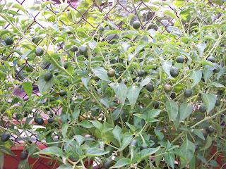 world's hottest chile-bhut jolokia