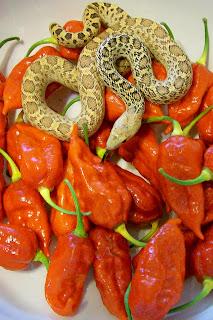 Naga Morich-www.superhotchiles.com