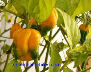 www.refiningfirechiles.com, Trinidad 7 Pot, Bhut Jolokia plants