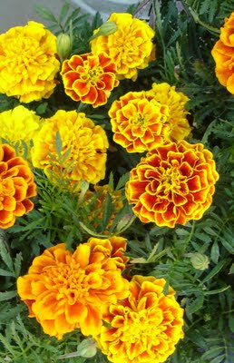 Plantas de floristeria la plaza clavel turco for Plantas ornamentales clavel