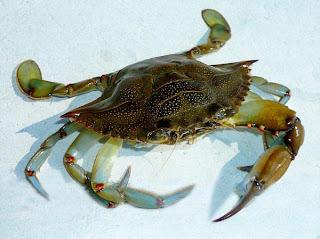 Crab Attack  - Sheva Apelbaum