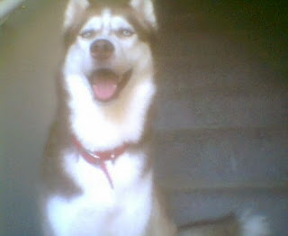 Kala, a red and white husky sittng on the stairs, laughing