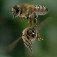 Save our honey bees!