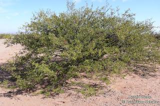 Tusca Acacia aroma arboles de Argentina