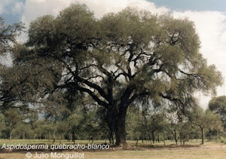 arboles de Argentina Quebracho blanco Aspidosperma quebracho blanco