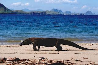 Dragón de Komodo Varanus komodensis