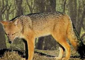 zorro colorado Pseudalopex culpaeus