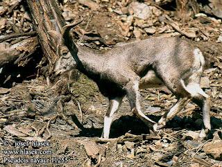 caprinae Cabra azul Pseudois nayaur