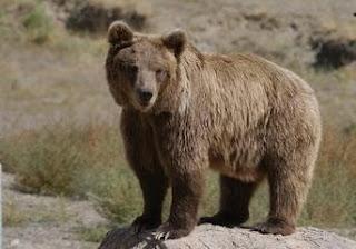 dieta del oso pardo Ursus arctos