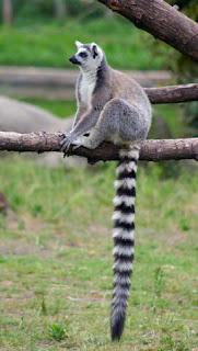 lemur de cola anillada Lemur catta