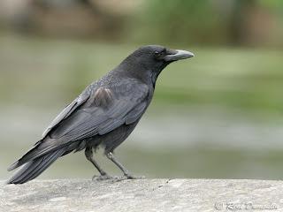 corneja negra Corvus corone