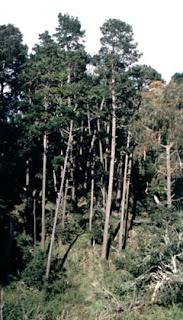 Pino insigne Pinus radiata