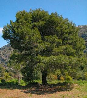 pino blanco Pinus halepensis
