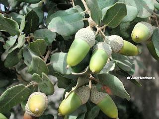 la encina y su relacion con vertebrados Quercus ilex