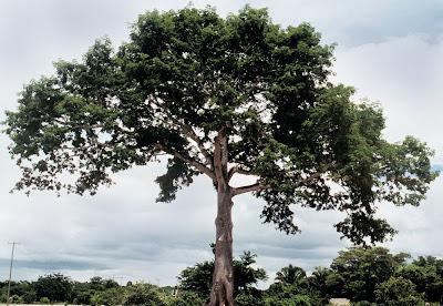 ceiba Ceiba pentandra
