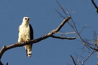 aquila calzada blanca Spizastur melanoleucus