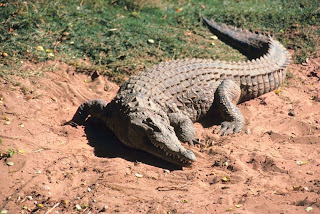 cocodrilo americano Crocodylus acutus