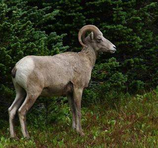 carnero de Canada Ovis cannadensis
