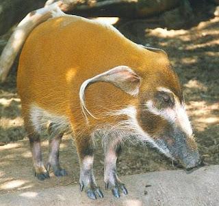 jabali del mechon Potamochoerus porcus