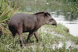 tapiridae tapir Tapirus terrestris