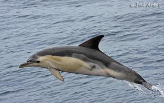 delphinidae delfin comun Delphinus delphis