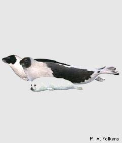 foca de Groenlandia Pagophilus groenlandicus