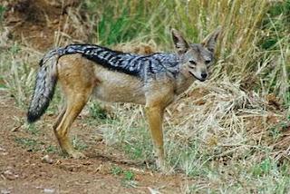 canidos Chacal de dorso negro Canis mesomelas