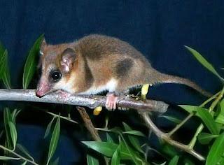 monito de monte Dromiciops glirodies marsupiales de america del sur