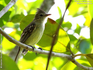 fiofio copeton Elaenia flavogaster passeiforme birds in Argentina