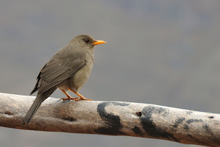 zorzal chiguanaco Turdus chiguanacao canto de aves argentinas