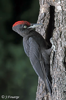 carpintero negro Dryocopius martius
