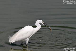garceta comun Egretta garzetta ecosistema de las aves en el planeta tierra