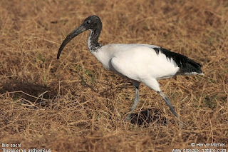 ibis sagrado Threskiornis aethiopicus