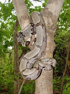 Ampalagua Boa constrictora Boa constrictor