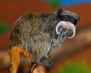 tamarino de vientre rojo Saguinus imperator american monkeys