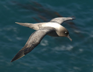 albatros oscuro chico Phoebetria palpebrata aves de Argentina