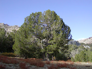 pino corteza blanca Pinus albicaulis