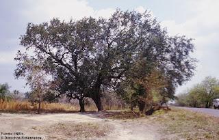 encino Quercus oleoides