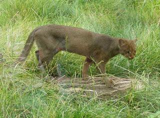 yaguarundi Puma yagouaroundi mamiferos de argentina