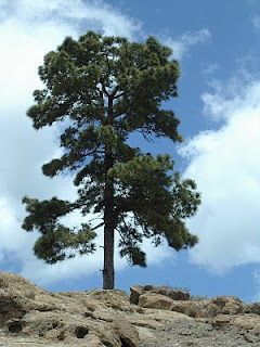 pino canario Pinus canariensis