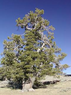 pino limber Pinus flexilis