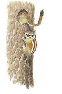 rodentia sciuridae ardilla contorta Tamias speciosus